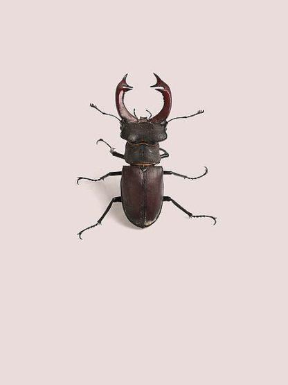 IN99039 - Incado - Lucanus cervus