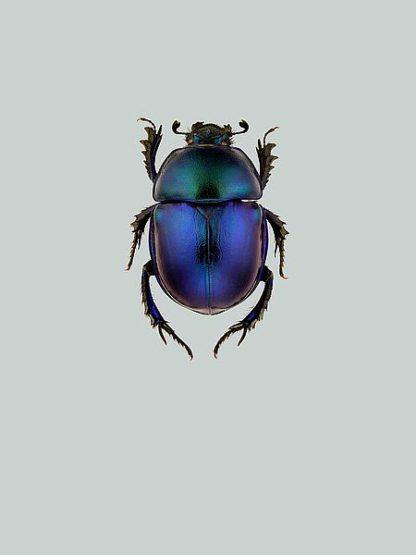 IN99042 - Incado - Trypocopris vernalis