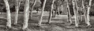 B3555D - Blaustein, Alan - Birch Trees No.1