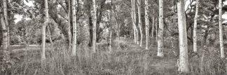 B3556D - Blaustein, Alan - Birch Trees No.2