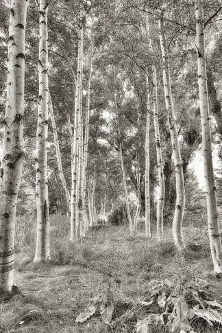 B3557D - Blaustein, Alan - Birch Trees No.3