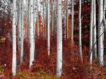 K2611D - Kostka, Vladimir - Fall Birches