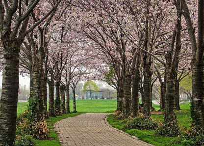 B3579D - Burdick, Chuck - Cherry Blossom Path