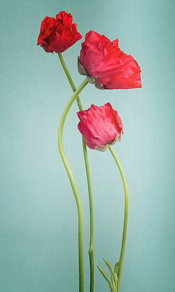 IN99079 - PhotoINC Studio - Blue poppy