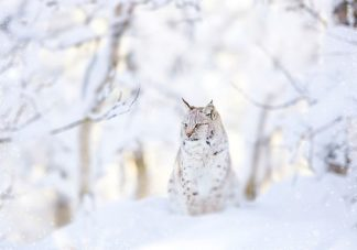 IN99228 - PhotoINC Studio - Snow lynx