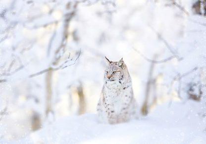 IN99228 - PhotoINC Studio - Snow lynx