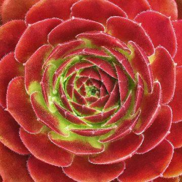 B3619D - Bell, Jan - Fuzzy Red Succulent