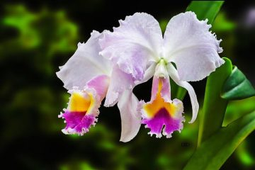 S1712D - Spears, Don - White, Yellow and Fuchsia Orchids