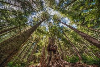 O322D - Oldford, Tim - Avatar Grove Canopy