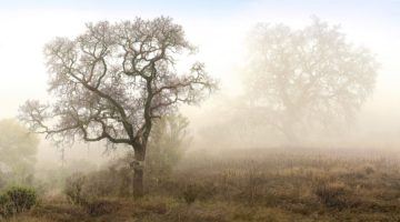 B3691D - Blaustein, Alan - Sonoma Oak #1