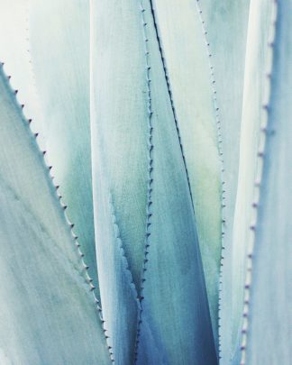 G2022D - Grainne, Lupen - Pale Blue Agave No. 1