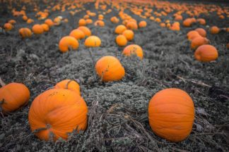 O331D - Oldford, Tim - Sea of Pumpkins