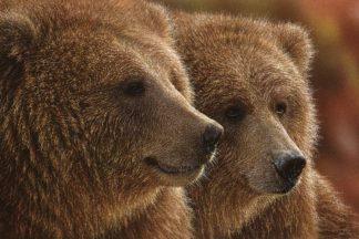 SBBC2088 - Bogle, Collin - Brown Bears - Lazy Daze