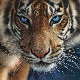 SBBC2136 - Bogle, Collin - Tiger - Blue Eyes