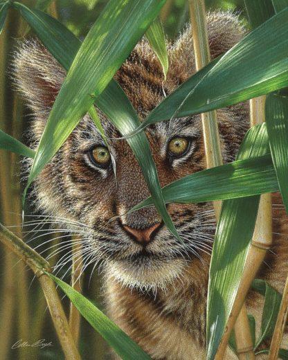 SBBC2140 - Bogle, Collin - Tiger Cub - Peekaboo