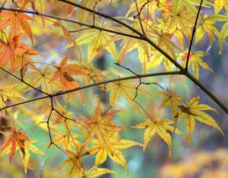 H1522D - Hammond, David - Autumn Maples