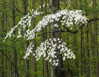 H1525D - Hammond, David - Dogwood Tree