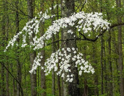 H1525D - Hammond, David - Dogwood Tree