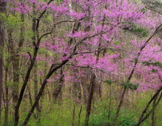 H1528D - Hammond, David - Redbud Tree