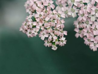 R1213D - Ryan, Brooke T. - Blush Pink Flowers