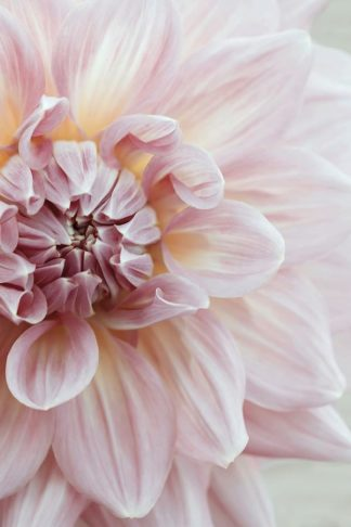 R1216D - Ryan, Brooke T. - Blush Pink Dahlia