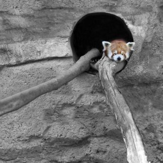 R1229D - Ryan, Brooke T. - Red Panda Sleeping