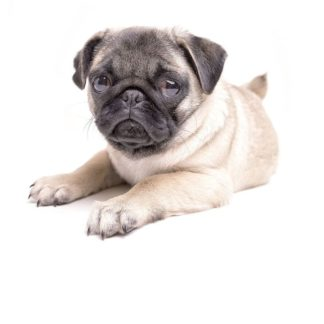 F746D - Fielding, Edward M. - Cute Pug Puppy