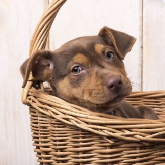 F750D - Fielding, Edward M. - Puppy in a Basket