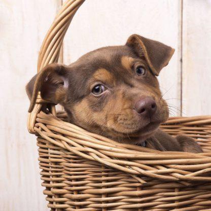 F750D - Fielding, Edward M. - Puppy in a Basket
