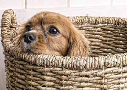 F761D - Fielding, Edward M. - Puppy in a Laundry Basket