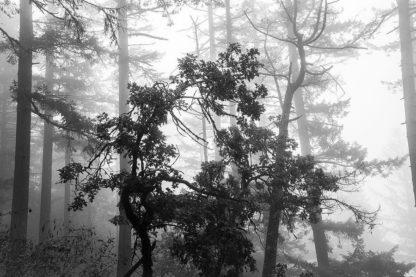 O339D - Oldford, Tim - Foggy Trees