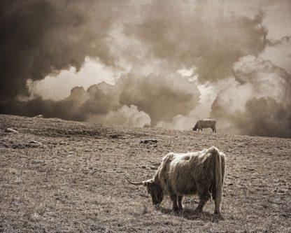 R1238D - Ryan, Brooke T. - Scottish Highland Cattle No. 1