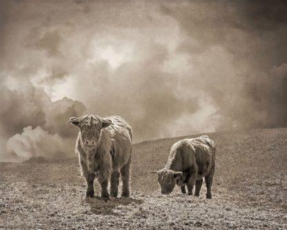 R1239D - Ryan, Brooke T. - Scottish Highland Cattle No. 2