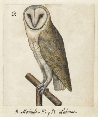 U690D - Unknown - Barn Owl, 1560-1585