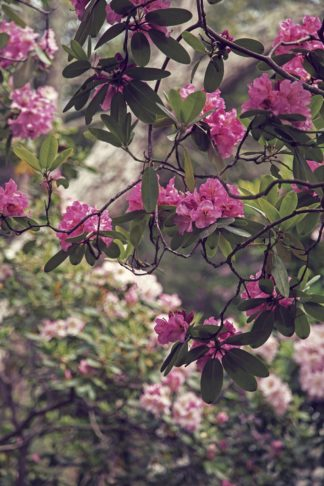 R1250D - Ryan, Brooke T. - Rhododendrons