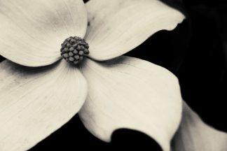 H1621D - Horsfall, Gary - Dogwood Flower