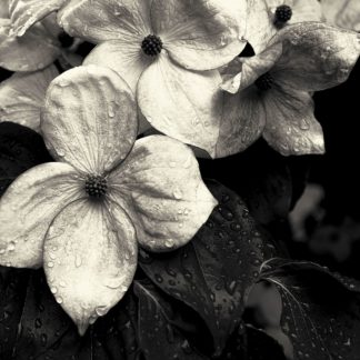 H1622D - Horsfall, Gary - Dogwood Flower No. 3