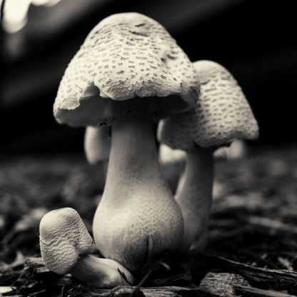 H1626D - Horsfall, Gary - Mushroom No. 3