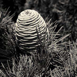H1628D - Horsfall, Gary - Spruce Cone