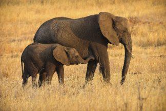 R1290D - Romanowicz, Adam - Mother and Baby Elephants