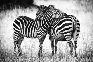 R1293D - Romanowicz, Adam - Zebra Love