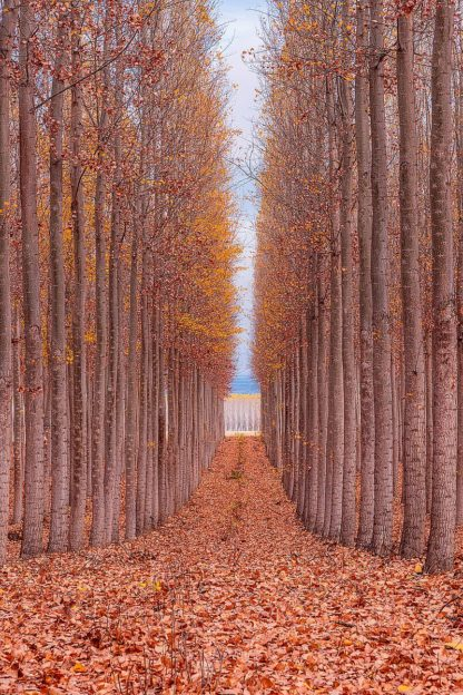G2074D - Getty, Bruce - Tree Farm