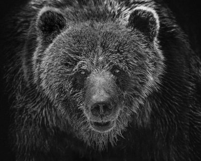 R1299D - Russeck, Shane - Grizzly Portrait