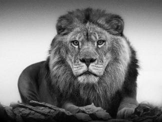 R1303D - Russeck, Shane - Lion Portrait
