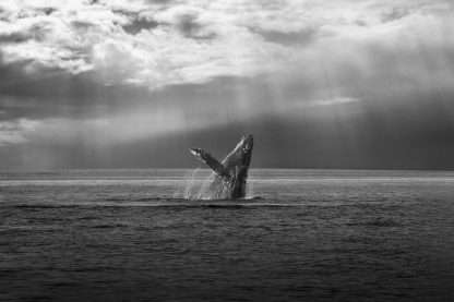 R1304D - Russeck, Shane - The Whale