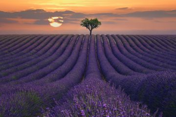 S1875D - Sie, Lee - For the Love of Lavender