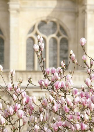 O414D - Okula, Carina - Spring Magnolias In Paris