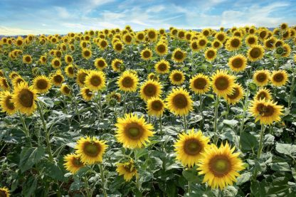 B4036D - Blaustein, Alan - Cotona Sunflowers #1