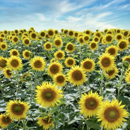 B4037D - Blaustein, Alan - Cortona Sunflowers #2