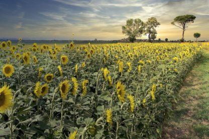 B4038D - Blaustein, Alan - Cotona Sunflowers #3